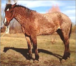 bay roan curly mare
